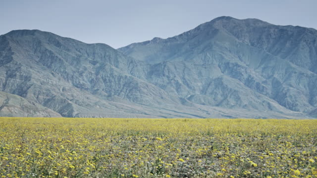 death valley super bloom with mountains - death valley national park stock videos & royalty-free footage