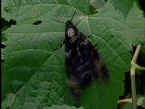 death's head hawkmoth flutters its wings and takes off - grape leaf stock videos and b-roll footage