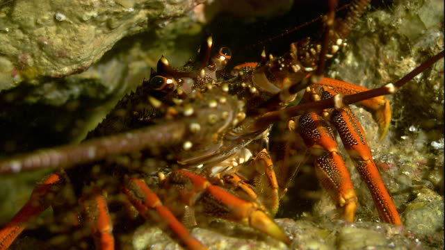 debris floats upward as a southern rock lobster crawls on the seafloor. available in hd. - lobster stock videos & royalty-free footage