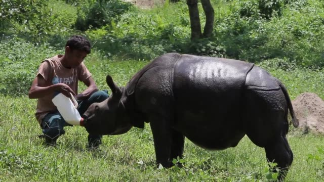 decade ago india had all but declared victory over poaching in kaziranga a 430 square kilometre protected area of forest in the northeastern state of... - kilometre stock videos & royalty-free footage