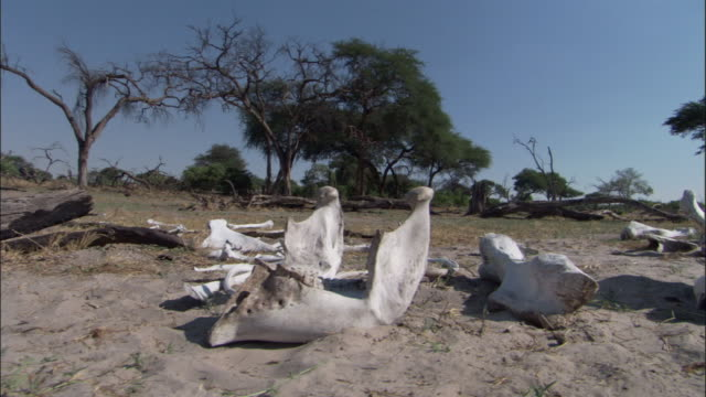 decayed elephant carcass and skull, botswana - bone stock videos & royalty-free footage