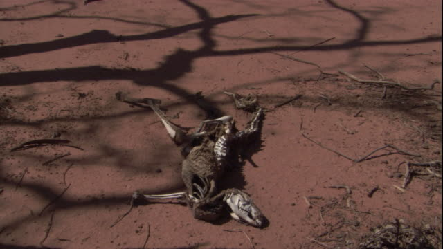 A decayed kangaroo carcass lies on the parched desert floor, New South Wales. Available in HD.