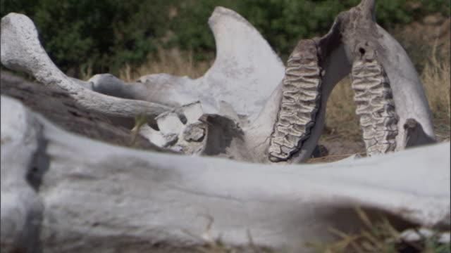 decaying elephant carcass, botswana - animal skull stock videos and b-roll footage