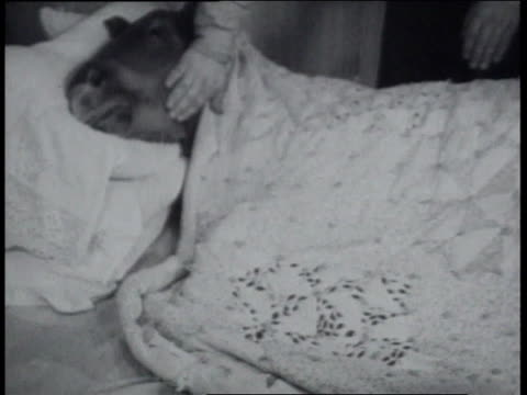 December 23, 1936 Midget draft horse lying in a bed while woman covers him with a blanket