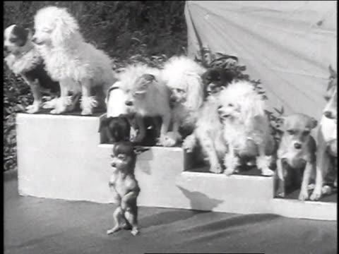december 9, 1935 montage small dogs performing / venice, california  - animale da spettacolo video stock e b–roll