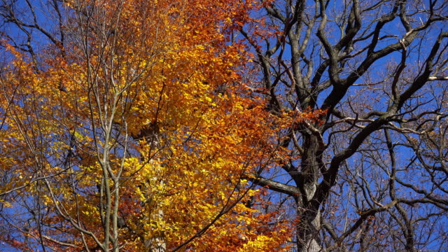 decicuous tree in autumn - deciduous tree stock videos & royalty-free footage