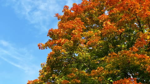 decidous tree in autumn - deciduous tree stock videos & royalty-free footage