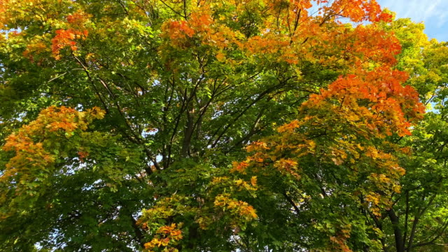 decidous tree in autumn - deciduous stock videos & royalty-free footage