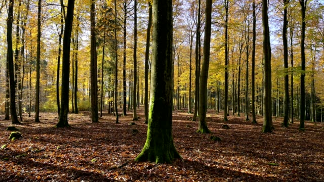deciduous forest in autumn, spessart, bavaria, germany - deciduous stock videos & royalty-free footage