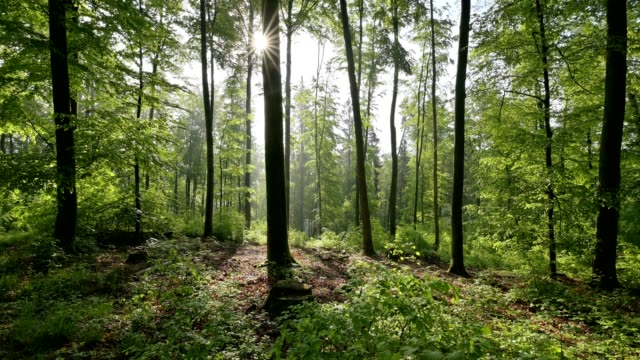 vidéos et rushes de deciduous forest in the morning with sun, spessart, bavaria, germany - tronc d'arbre