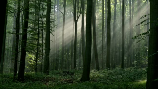 deciduous forest in the morning with sunbeams, spessart, bavaria, germany - deciduous stock videos & royalty-free footage