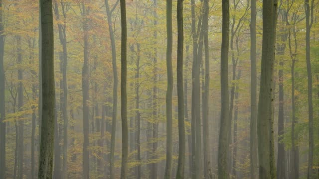 deciduous forest with fog in autumn, spessart, bavaria, germany - deciduous stock videos & royalty-free footage