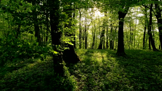 deciduous forest with sun in spring, sodenberg, hammelburg, district bad kissingen, rhön, bavaria, germany - beech tree stock videos and b-roll footage