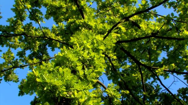 deciduous oak - deciduous stock videos & royalty-free footage