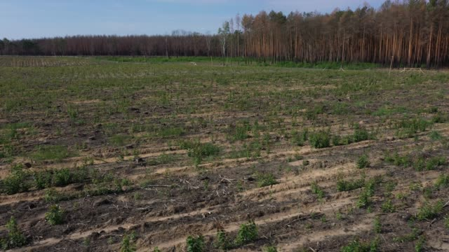 deciduous saplings planted as part of a reforestation effort grow in a former area of forest destroyed by fire nearly one year ago near klausdorf... - reforestation stock videos and b-roll footage