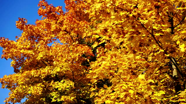 deciduous tree autumn - deciduous tree stock videos & royalty-free footage