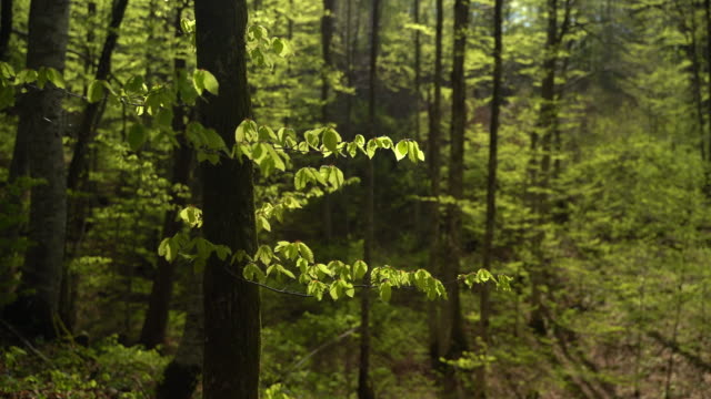 deciduous tree branch in springtime - deciduous tree stock videos & royalty-free footage