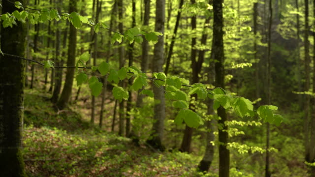 deciduous tree forest in springtime - deciduous tree stock videos & royalty-free footage