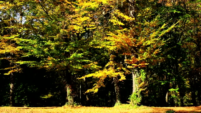 deciduous tree in autumn - deciduous stock videos & royalty-free footage