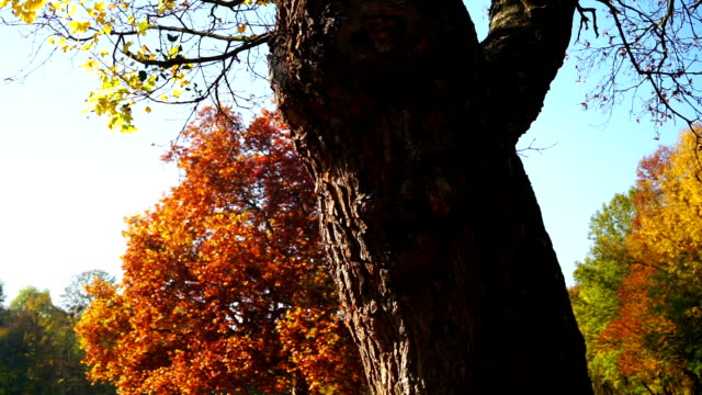 deciduous tree in autumn - deciduous tree stock videos & royalty-free footage