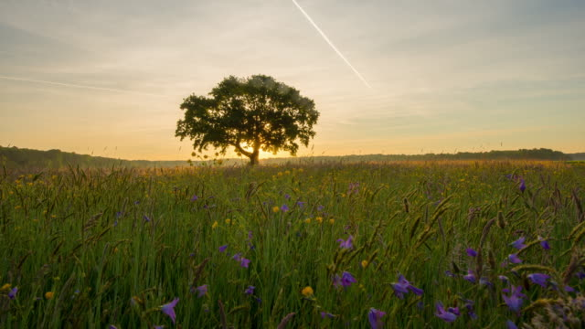 8k t/l deciduous tree in the meadow at sunrise - single tree stock videos & royalty-free footage