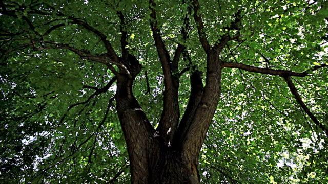 deciduous tree - deciduous stock videos & royalty-free footage