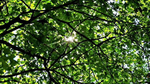 deciduous tree with sunbeam - deciduous stock videos & royalty-free footage