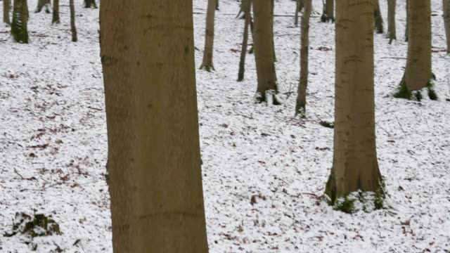 deciduous trees rise above snowy forest floor - deciduous stock videos & royalty-free footage