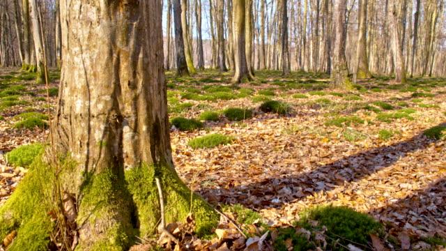 ds albero deciduo - area selvatica video stock e b–roll