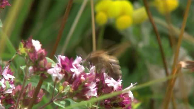 decline of wild bee populations in england linked to controversial pesticides; england: oxfordshire: ext close shots of bee on flowers/ air view /... - 殺虫剤点の映像素材/bロール