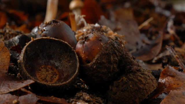 t/l decomposers on acorn (nut of quercus sp.), united kingdom - rotting stock videos & royalty-free footage
