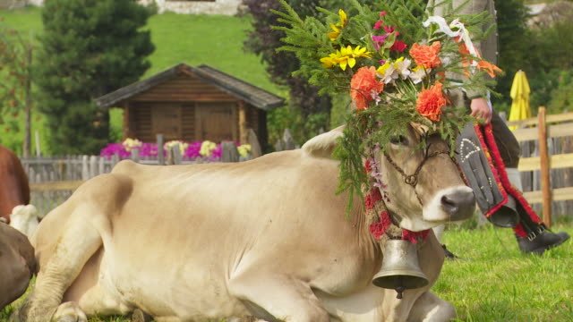 decorated cows resting from the return from the high pasture - kalb stock-videos und b-roll-filmmaterial