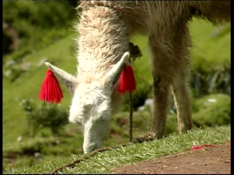 stockvideo's en b-roll-footage met decorated llama eats grass at sacsayhuaman, peru - werkdier