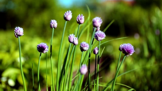 decorative onion spring landscape - hd - chive stock videos & royalty-free footage
