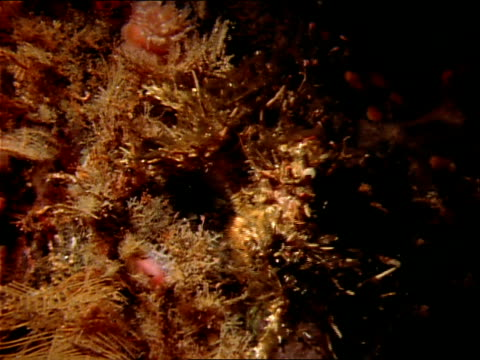 a decorator crab blends into its surroundings. - aquatic plant stock videos & royalty-free footage