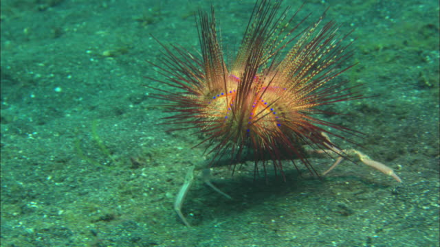 decorator crab grabs fire urchin, places on back, runs away, travelling, indonesia  - sea urchin stock videos and b-roll footage
