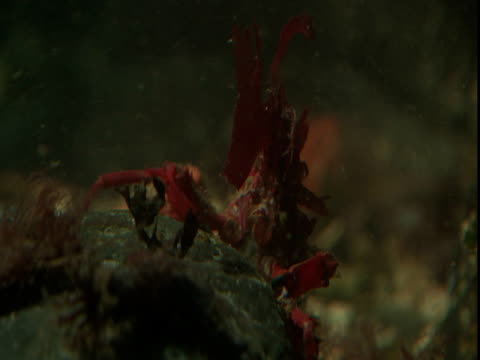 a decorator crab raises its body and claws off the ocean floor. - anacortes stock videos & royalty-free footage