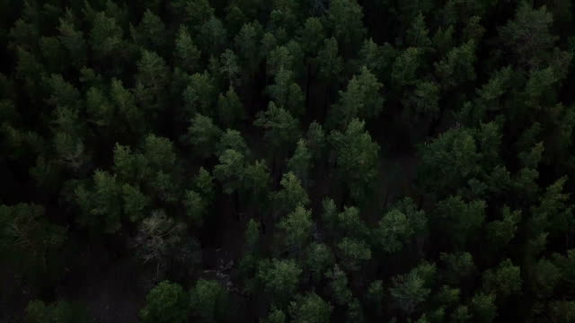 deep forest - pine tree stock videos & royalty-free footage