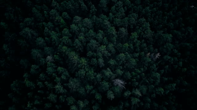 deep forest - pinaceae stock videos & royalty-free footage