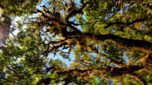 vidéos et rushes de forêt profonde avec une mousse verte sur l'arbre. - séquoia géant