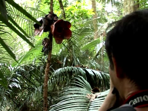deep in the jungles of southeast asia the world's biggest flower -- a massive fleshy orb mimicking the colour and stench of rotting meat -- is under... - biggest stock videos & royalty-free footage