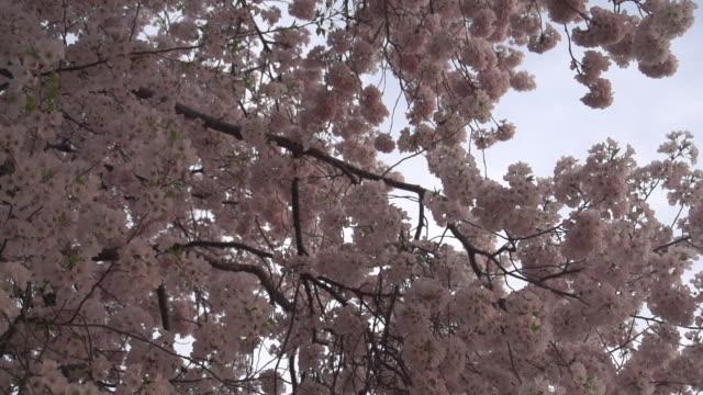 深いピンクの桜 - 政治行動委員会点の映像素材/bロール