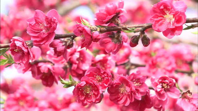 deep pink peach blossoms  tilt down  tehaizaka villae - fruit tree stock videos & royalty-free footage