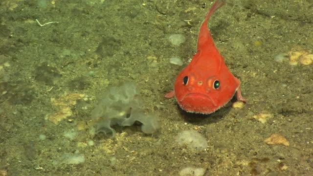 Deep sea anglerfish (Chaunacidae) on deep sea mount, New England, Atlantic Ocean