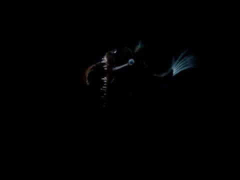 deep sea anglerfish swims through black ocean - tiefe stock-videos und b-roll-filmmaterial