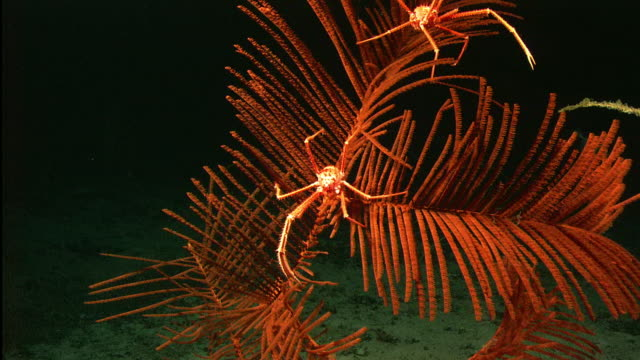 Deep sea squat lobsters on coral (Iridogorgia) on deep sea mount, New England, Atlantic Ocean