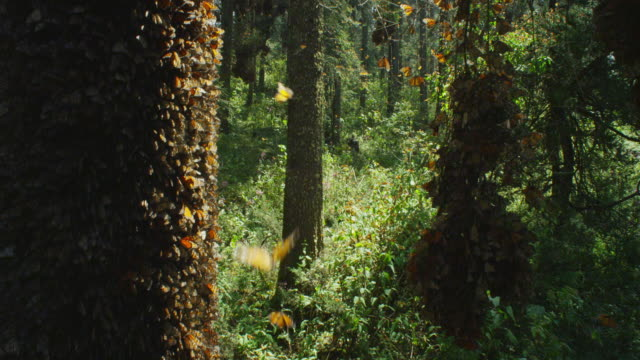deep shot forest floor with massed monarch butterflies on trunk in foreground - migrazione animale video stock e b–roll