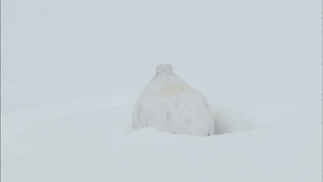 deep snow  tilt down  white rock ptarmigan  tilt up  deep snow and trees - 擬態点の映像素材/bロール