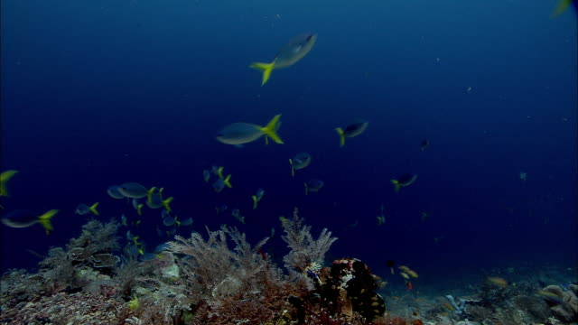 vidéos et rushes de deep-bodied fusiliers (caesio cuning) over coral reef, west papua, indonesia - lockdown