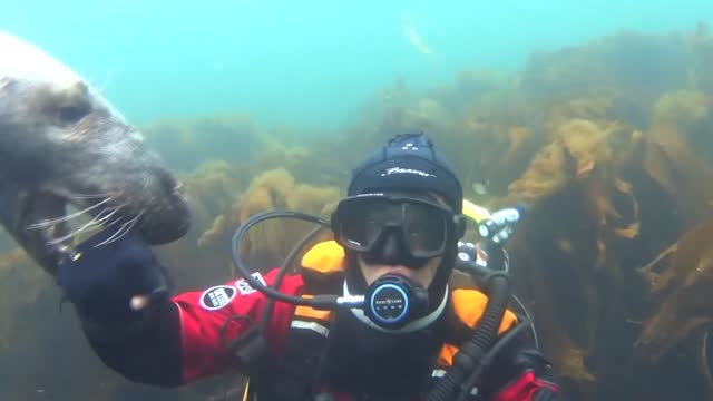 deep-sea diver from northumberland, england, made a new underwater pal on august 23 off the coast of the farne islands, an archipelago in the north... - undersea stock videos & royalty-free footage